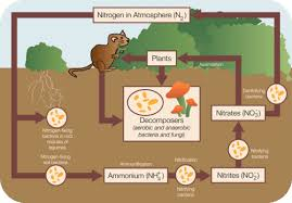 nitrogen cycle in ecosystems read earth science ck 12