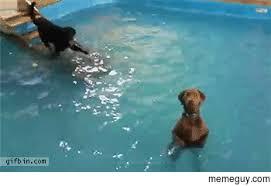 Swimming Pool Meme - dogs standing in swimming pool meme guy