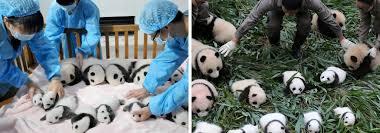complicated legacy panda good