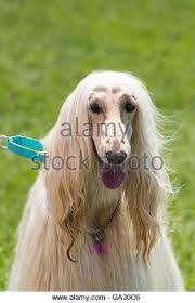 afghan hound collars uk afghan hound hair stock photos u0026 afghan hound hair stock images