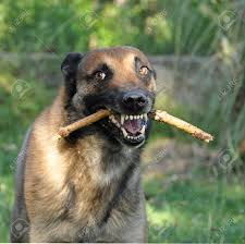 belgian sheepdog images picture of a purebred angry belgian sheepdog malinois stock photo
