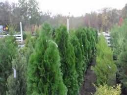 small cheap screening trees that grow in your landscape
