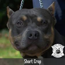 american pitbull terrier natural ears american bully ear crops triline kennels