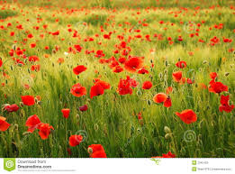 poppies flowers poppies flowers stock image image of conservation lowland 2345403