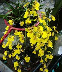 oncidium orchid orchids coming to u s stores mnn nature