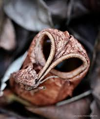 Plants In The Tropical Rain Forest - photographing somboi somboi pitcher plants in the tropical