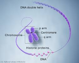 what is a chromosome genetics home reference