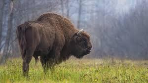 higgs bison u0027 is the missing link in european bison ancestral tree