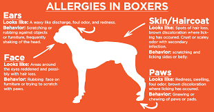 boxer dog health questions manage your boxer u0027s allergies with omega 3 k 10
