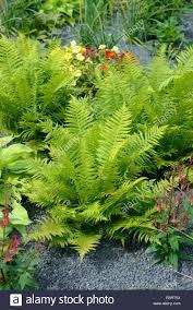fern worm fern dryopteris filix as ornamental plant