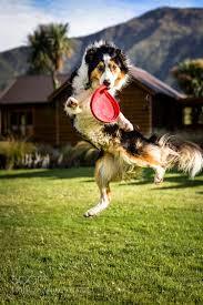 australian shepherd funny 219 best australian shepherds images on pinterest australian