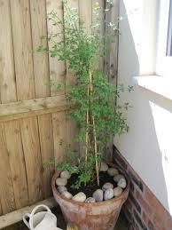 how to grow my winter jasmine