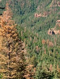 dead white fir and douglas fir trees new mexico