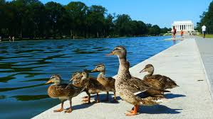 after 80 baby ducklings died in the lincoln memorial pool in