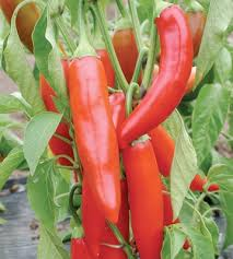 10 Tips For Growing Peppers by How To Grow Peppers U2013 Southwest Gardener