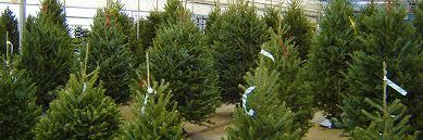 fresh cut trees greenery alsip home nursery northwest