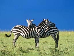 images of zebras