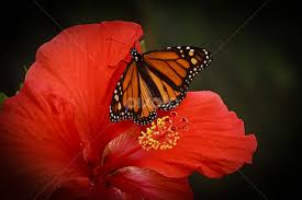 monarch butterfly on hibiscus flower insects spiders animals
