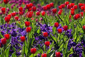 tulips flowers tulip plants solidaria garden