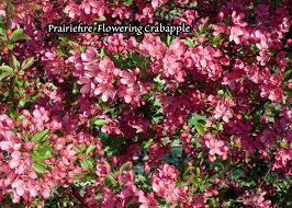 trees with pink flowers dave wilson nursery