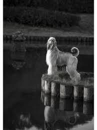 afghan hound 9 months i love domino u0027s afghan hound puppy pinterest afghan hound