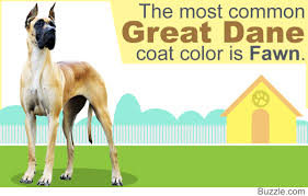 Blind Great Dane 8 Different Great Dane Colors And Patterns With Amazing Pictures