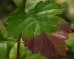 native plants of new mexico the wild garden hansen u0027s northwest native plant database