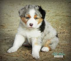 australian shepherd eye color genetics australian shepherd colors aussie color chart and dog food