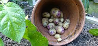 grow potatoes for a christmas crop