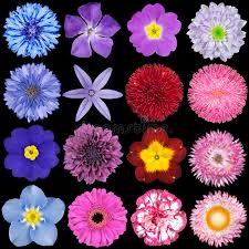 blue and purple flowers various pink blue and purple flowers stock photo image of