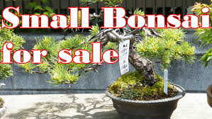 small bonsai trees for sale at big bonsai market ミニ盆栽市場