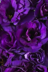 lisianthus flower purple lisianthus calyx flowers inc