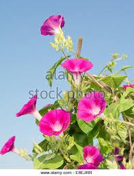 Morning Glory Climbing Plant - morning glory plant trellis stock photos u0026 morning glory plant