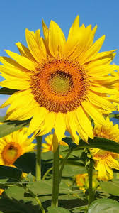 sunflower wallpapers 720x1280 earth sunflower wallpaper id 642052