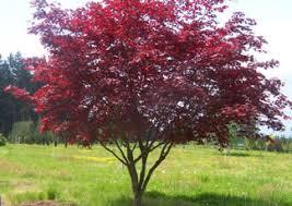 japanese maple bloodgood japanese maple tree