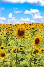 the sunflower field unskinny boppy