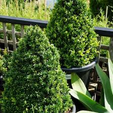 Topiaries Brisbane - topiary trees cone trees hello hello