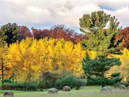 five things to about ginkgo trees and all their glorious color
