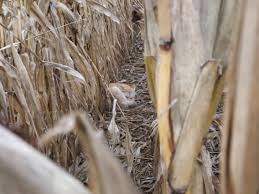 dealing with standing corn and how to hunt it scentlok