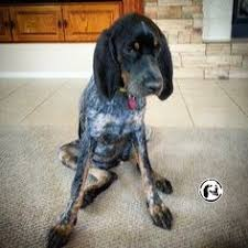 bluetick coonhound puppies joplin mo bluetick coonhound puppies i need to cuddle with him products