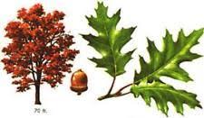 5 oak trees hardy perennial bulk listing plants
