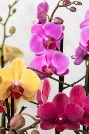 free photo orchids phalaenopsis free image on pixabay 564119