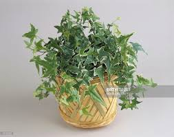closeup of an english ivy plant growing in a pot stock photo