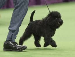 affenpinscher swimming sport in america is often a dog u0027s world except for the pros