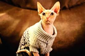 sphynx sweaters sweaters for kittens these cats wearing sweaters will put a smile