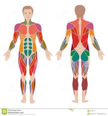 Human Anatomy Male Human Muscle Anatomy Vector Polygonal Anatomy Of Male Muscular