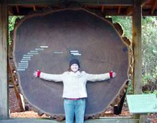tree cross section table cathedral grove big trees pictures politics big trees as