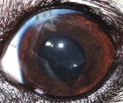 Cataract Leads To Blindness Due To Cataracts In Diabetic Dogs
