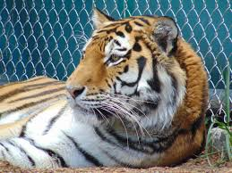 denver zoo tiger suffering from leukemia is euthanized