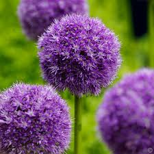 allium flowers allium his excellency 5 flower bulbs buy online order yours now